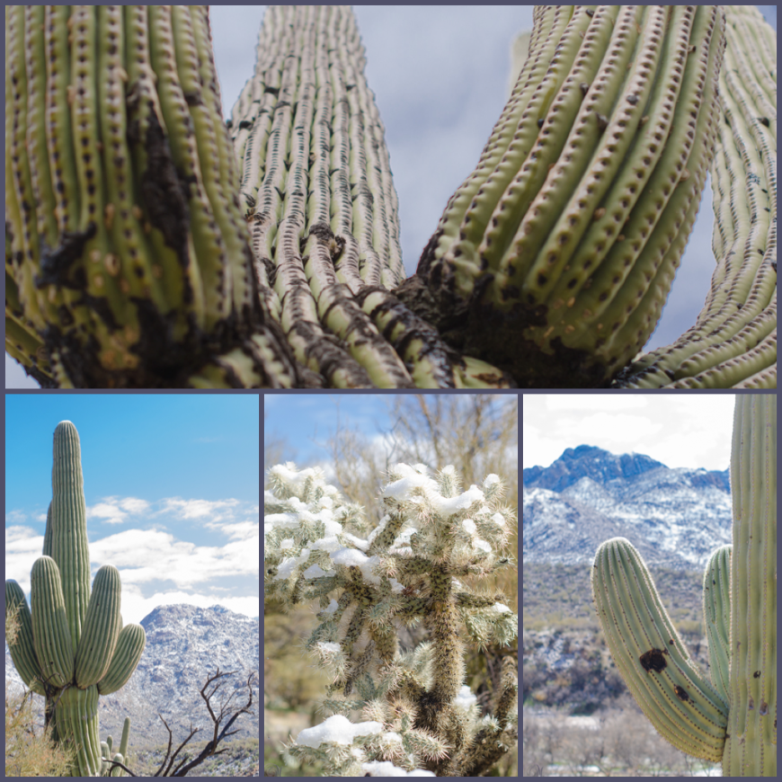 Saguaros and Pusch Ridge Mountains