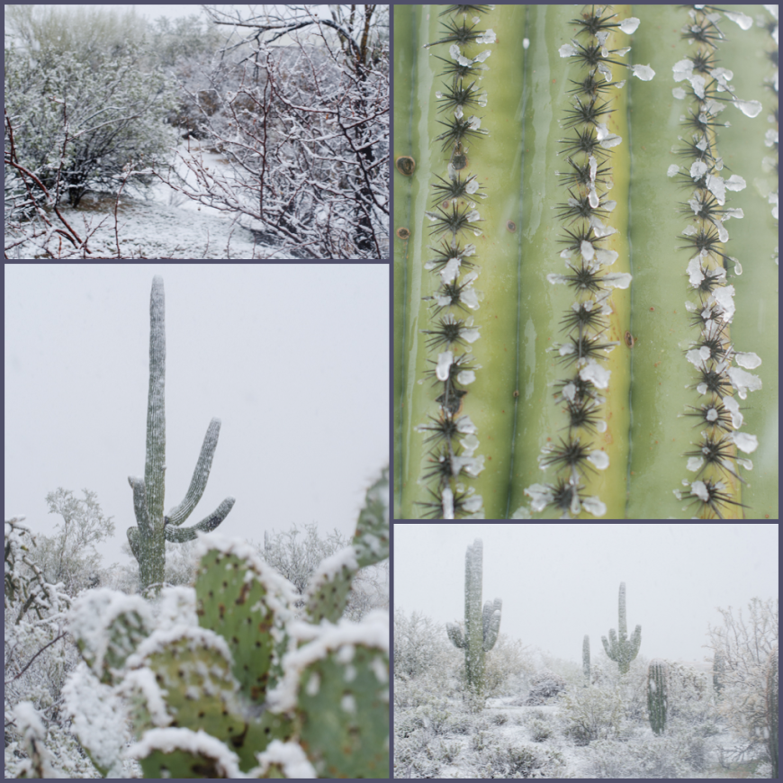 Saguaro with Snow