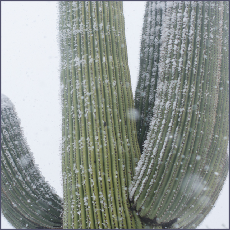 Saguaro in Winter Snow